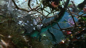 Crocodile in grass and roots in Mexican cenote. Crocodile in the grass and roots in cave Mexican Sacred Mayan Cenote. Deep underground clean and clear fresh stock video
