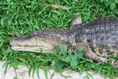 Crocodile on green grass. Crocodile relax on green grass in the zoo Stock Images
