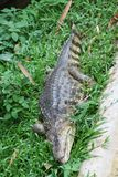 Crocodile on green grass. Crocodile relax on green grass in the zoo Royalty Free Stock Photos