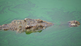 Crocodile in green pond Royalty Free Stock Images