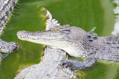 Crocodile in green pond Royalty Free Stock Image
