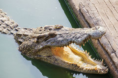 Crocodile in green pond open jaw Stock Photography