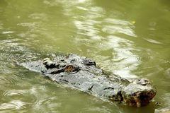 Crocodile in the swamp swimming Stock Photography