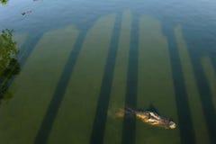 The crocodile in green water Stock Photo