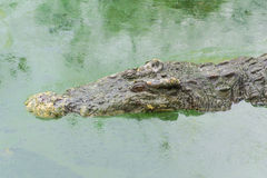A Crocodile Royalty Free Stock Image