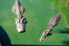 Crocodile in green water Royalty Free Stock Image