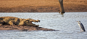 Crocodile and grey heron face-off Royalty Free Stock Image