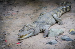 Crocodile on ground Stock Images