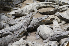 Crocodile Group. A horizontal photographic image of a group of crocodiles relaxing in the sun Royalty Free Stock Images