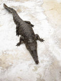 Crocodile. On grunge floor in farm Stock Photos