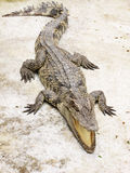 Crocodile. On grunge floor in zoo Royalty Free Stock Photo