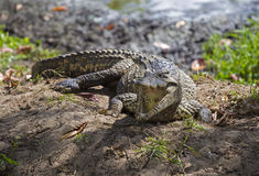 Crocodile in Guama Stock Photo
