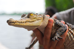 Crocodile in hand. Little crocodile hold in hand Royalty Free Stock Images