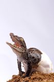 Crocodile Hatching. A newly hatched Crocodile Hatchling Stock Image