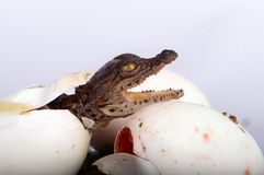 Crocodile Hatching. A newly hatched Crocodile Hatchling stock photo