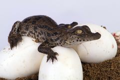 Crocodile Hatching. A Crocodile Hatching from its egg Royalty Free Stock Photo