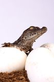 Crocodile Hatching. A Crocodile Hatching from its egg stock image