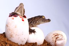 Crocodile Hatching. A Crocodile Hatching from its egg royalty free stock image