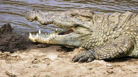 Crocodile Head. A croc with its mouth open lies in wait along the Mara River in Kenya Stock Photography