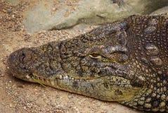 Crocodile Head Stock Photos