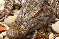 Crocodile head Stock Images