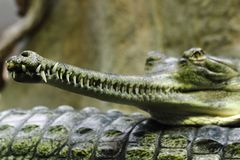 Crocodile head Stock Photos