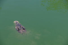 Crocodile with head above water Royalty Free Stock Photo