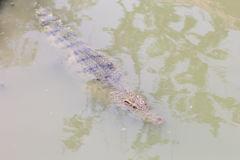 Crocodile with head above water Stock Image