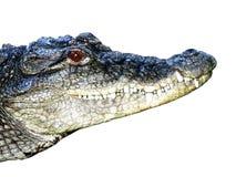 Crocodile head Royalty Free Stock Photo