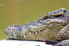 Crocodile head close up. Macro photography of crocodile head Royalty Free Stock Photos