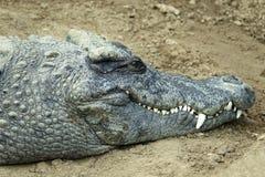 Crocodile. The head close-up of crocodile. Scientific name:Crocodylus porosus Royalty Free Stock Image