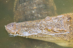 Crocodile head with closed jaws closeup Royalty Free Stock Photo