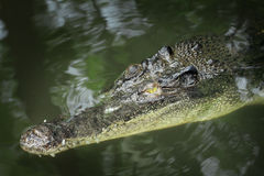 Crocodile head emerge Stock Photo