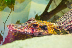 Crocodile. Head of a crocodile floating on a pond with green water Royalty Free Stock Image
