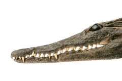 Crocodile head isolated. Crocodile head smiling isolated on white royalty free stock image