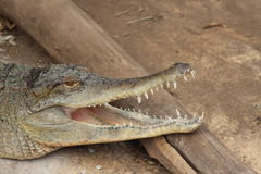 Crocodile  Head mouth open teeth visible Stock Images