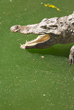 Crocodile head with open jaws closeup Stock Photography