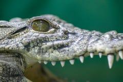 Crocodile head and open mouth. Portrait head, eye, teeth of natural mindoro crocodile stock images