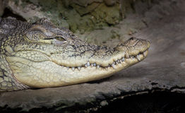 Crocodile head portrait Stock Photography