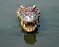 Crocodile looks from water Stock Photo