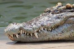 Crocodile head with sharp fang. The crocodile head with the sharp fang stock photography