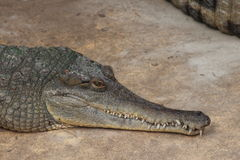 Crocodile  Head Stock Photo