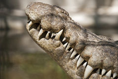 Crocodile head sideview close-up Stock Photos