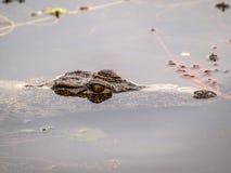 Crocodile head Royalty Free Stock Image