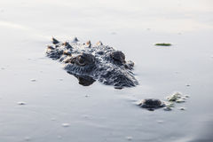 Crocodile Head in Water Royalty Free Stock Photography