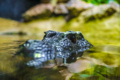 Crocodile head in the water Royalty Free Stock Photography
