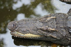 Crocodile headclose up. Crocodiles head from above close up in the water Stock Photography