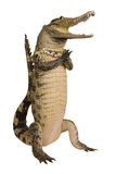 Crocodile hello isolate on white background Stock Image