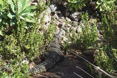 Crocodile hid in the thickets of green bushes. Predatory animal. Predatory animal. Crocodile basking in the sun, close-up royalty free stock photography