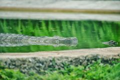 A crocodile hidden in water royalty free stock photography